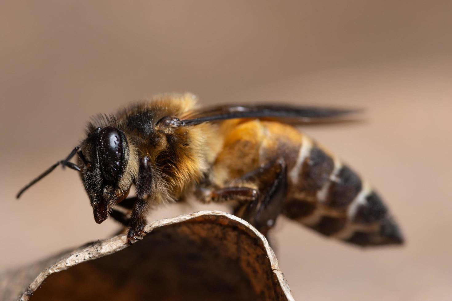 abeille sur une feuille photo