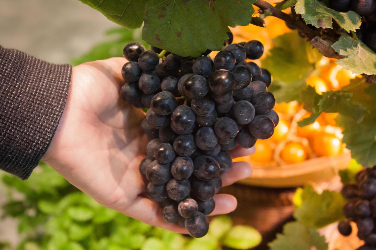 main tenant des raisins photo
