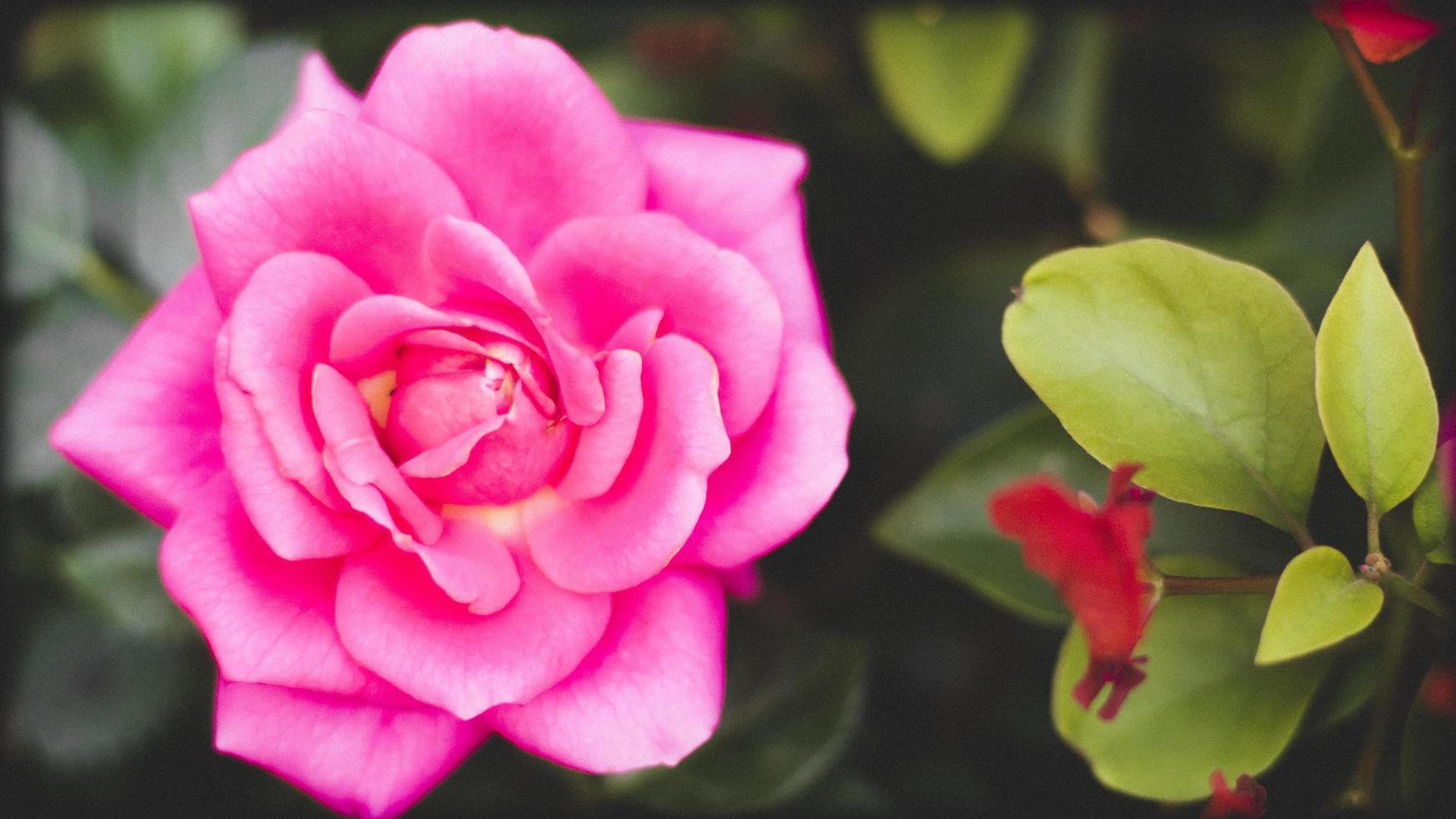 gros plan, de, a, rose rose photo