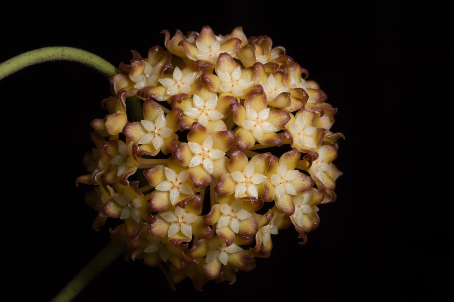 gros plan de fleur de Hoya photo
