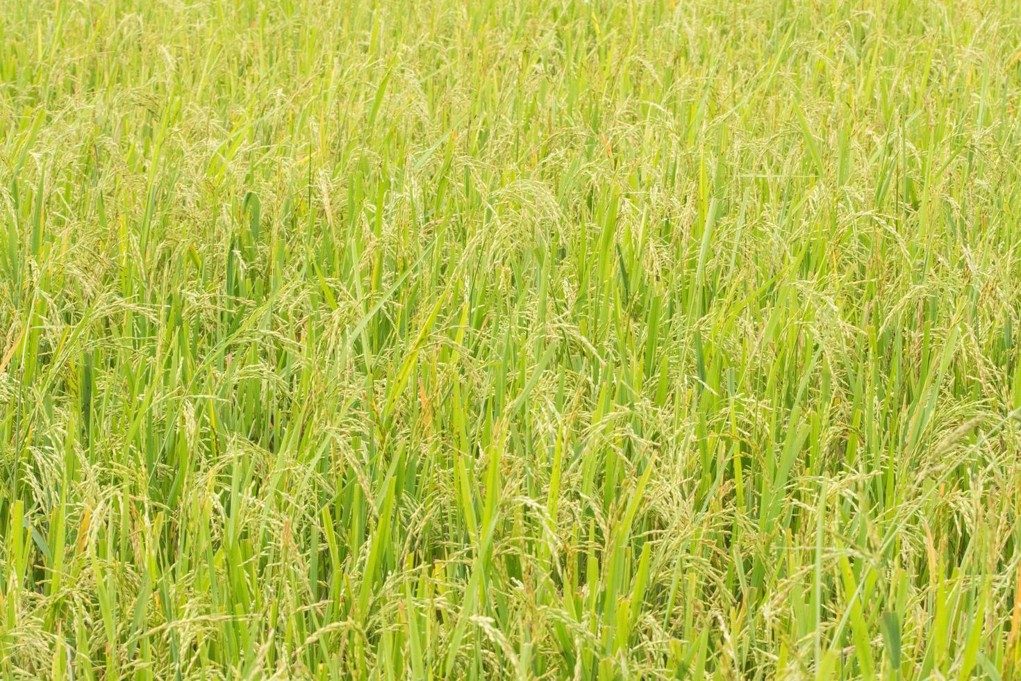 fond de champ de riz vert frais photo