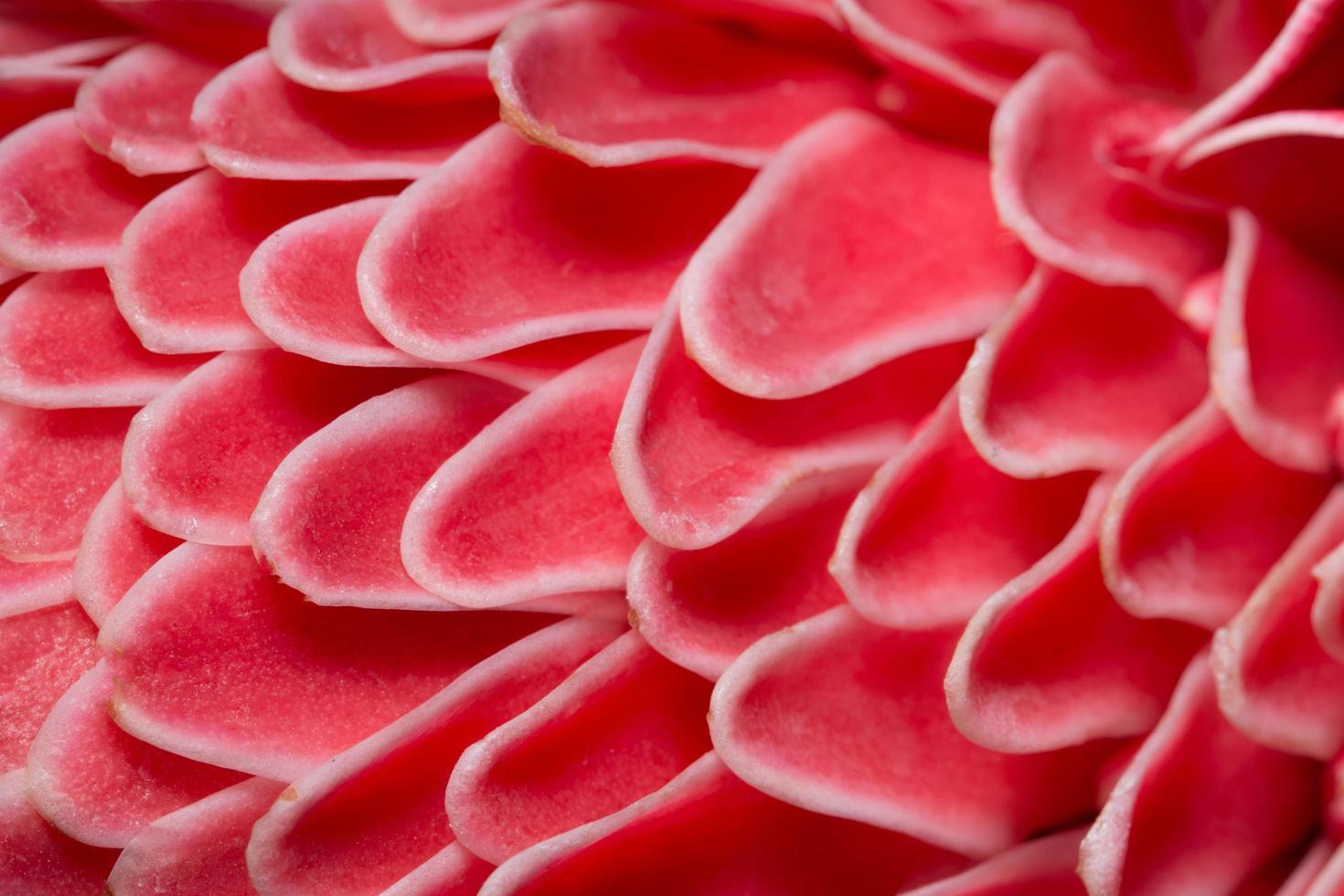 gros plan de pétales de fleur rose photo