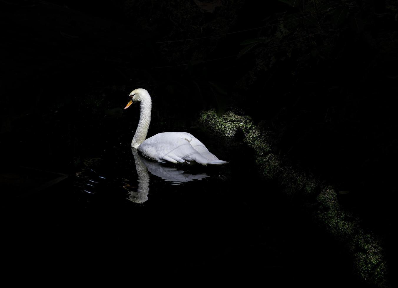 Cygne blanc à contraste élevé sur plan d'eau photo