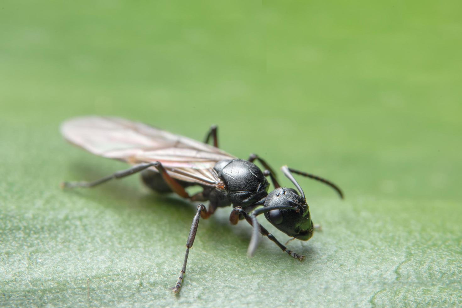 fourmi avec ailes gros plan photo