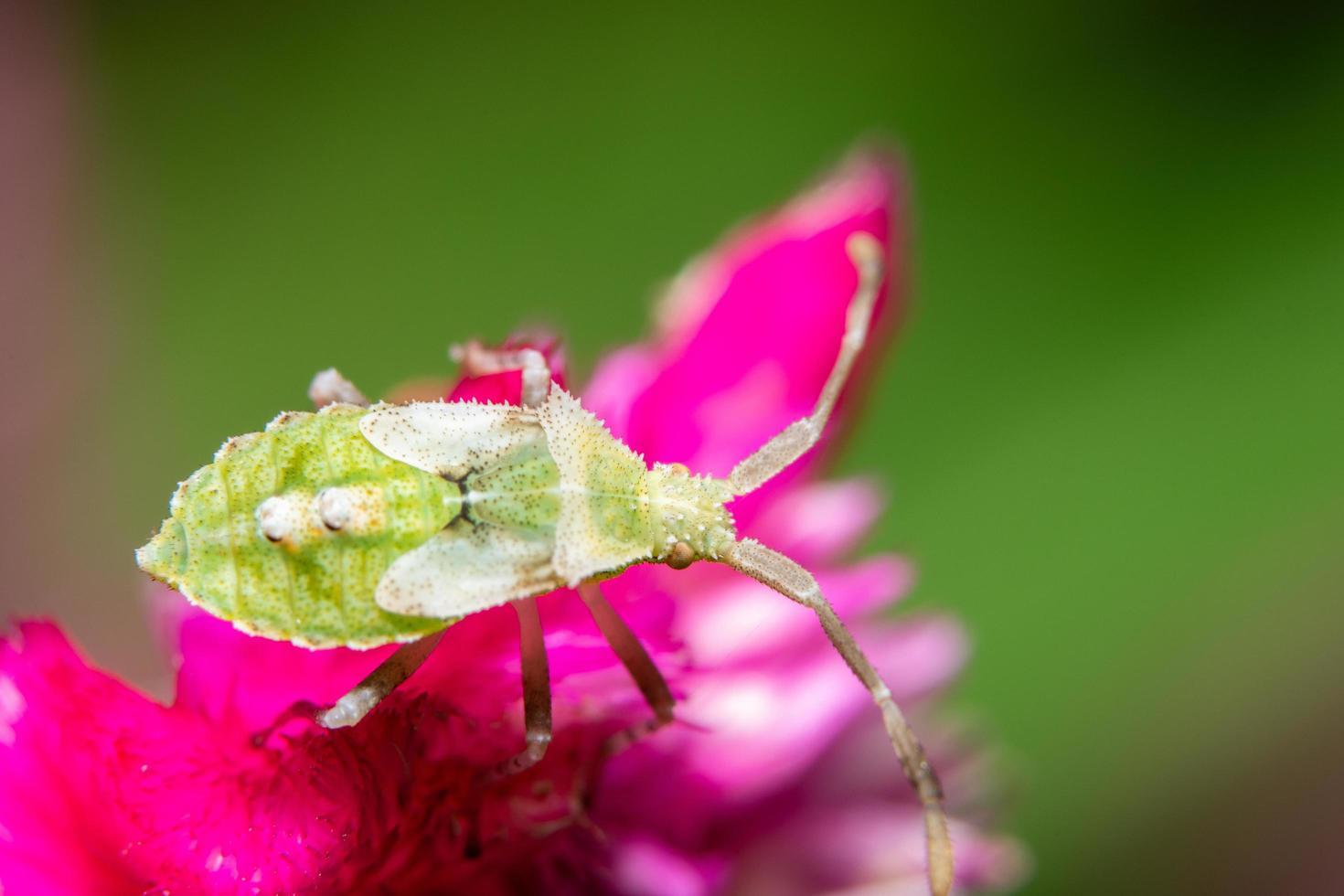 bug assassin brun sur une fleur photo
