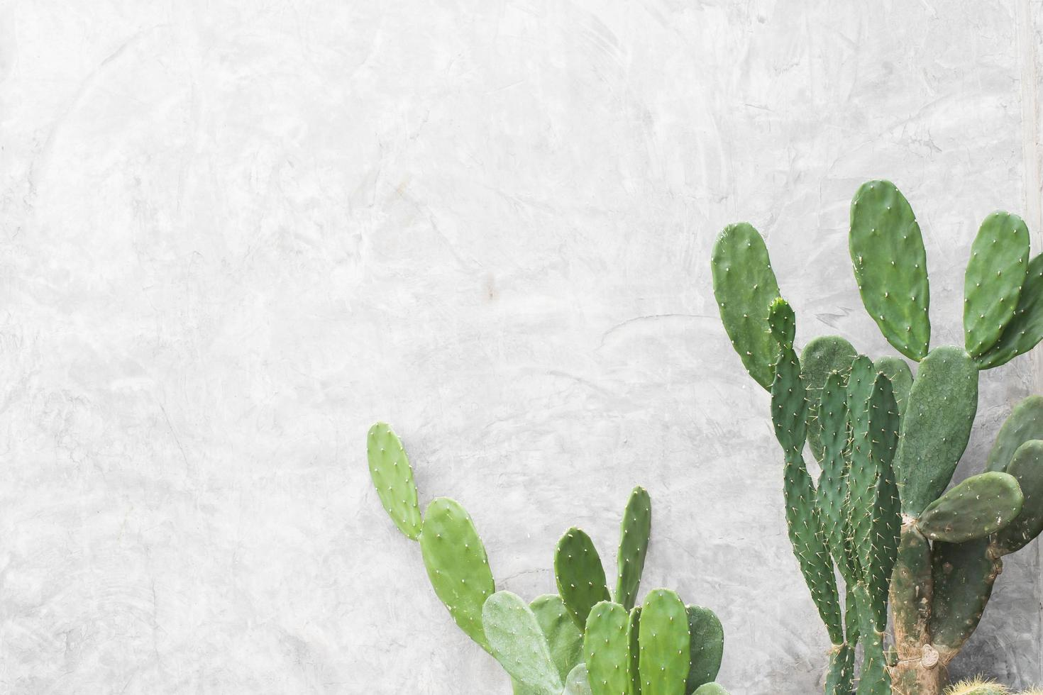 Feuilles vertes de cactus sur fond de mur blanc photo