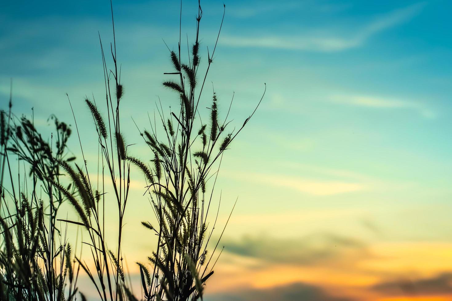 silhouette de plantes au coucher du soleil photo