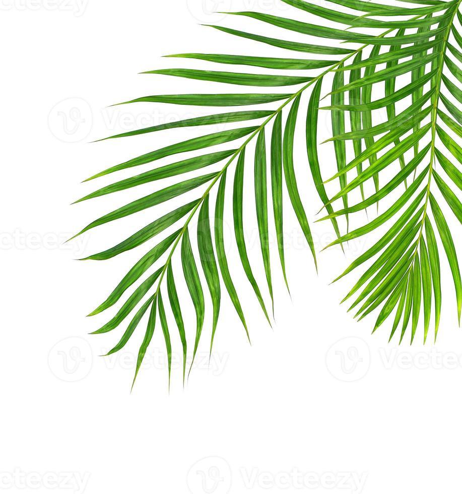 deux feuilles de palmier isolées photo