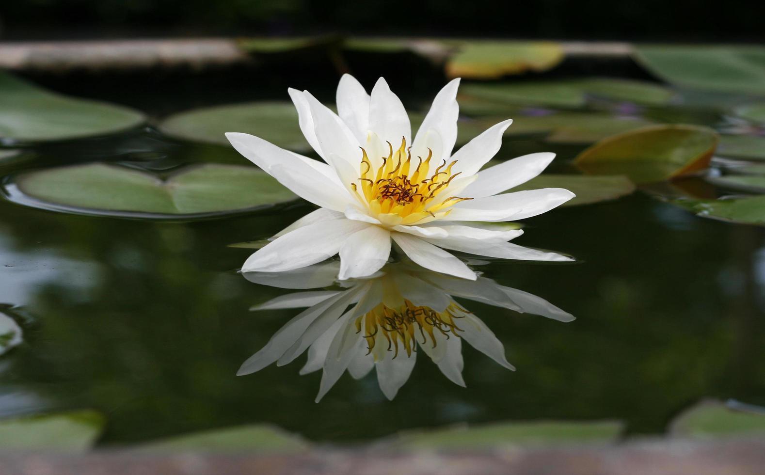 lotus blanc dans un étang photo