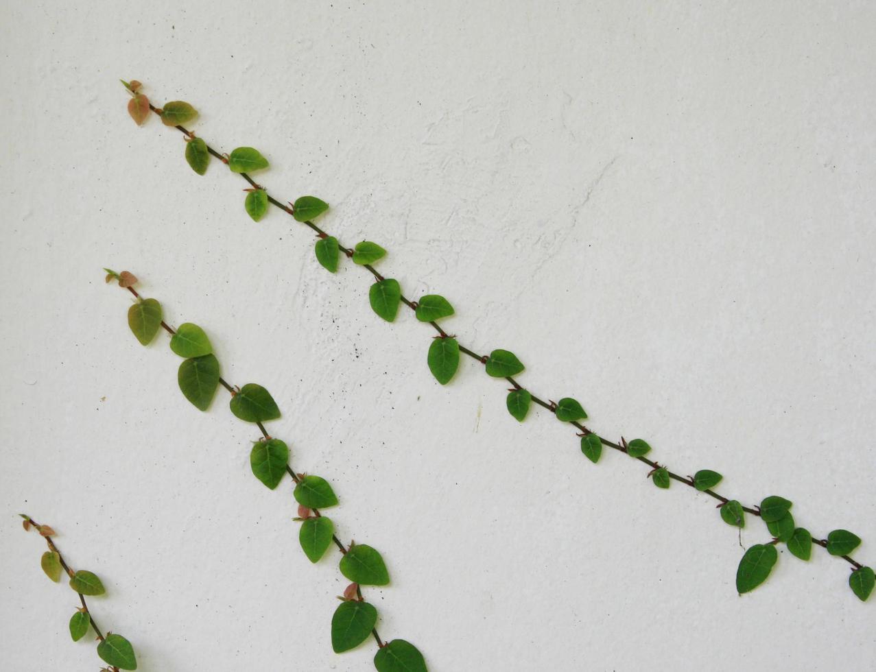 La plante grimpante verte sur le mur photo
