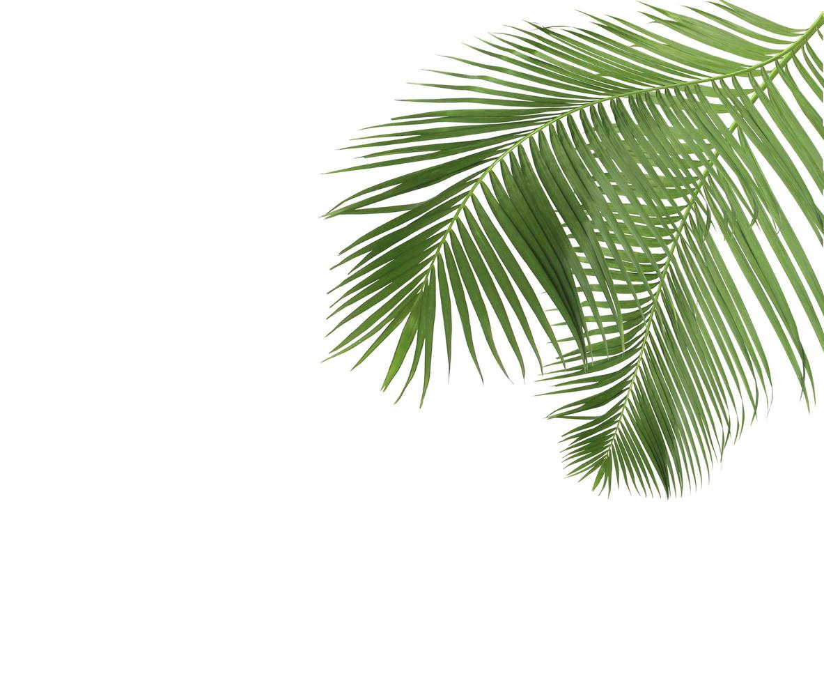 deux feuilles de palmier vertes sur blanc photo