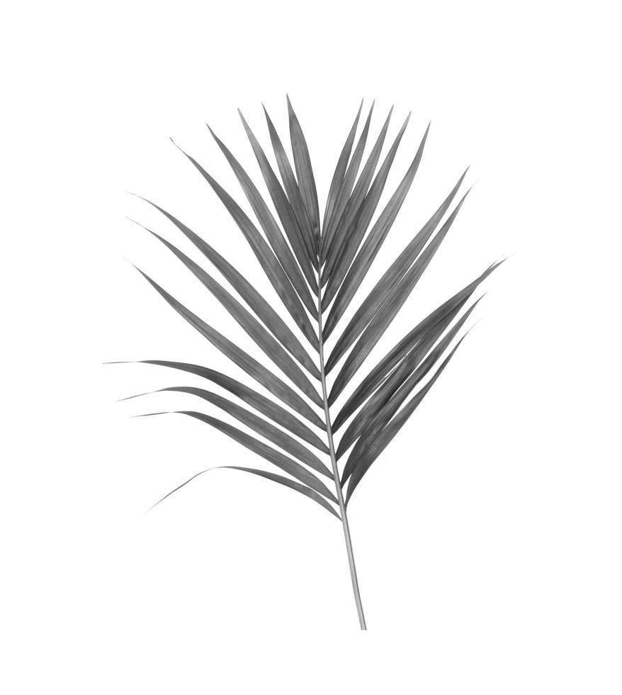 feuille de palmier noir et blanc photo