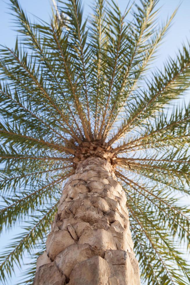 grand palmier en thaïlande photo