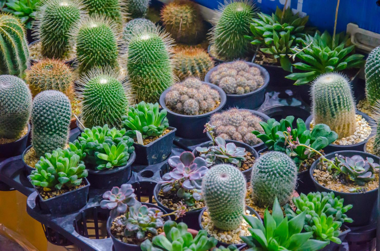 petites plantes de cactus photo