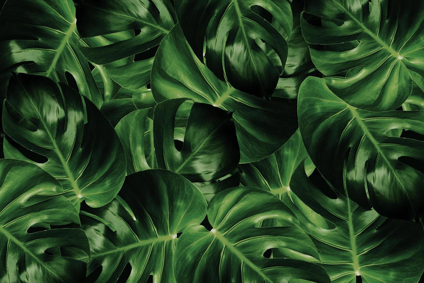 feuilles de monstera sur fond sombre photo
