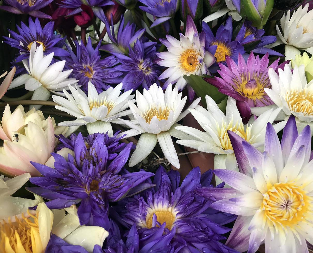 fleurs de lotus colorées photo