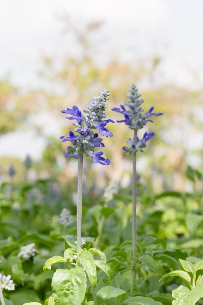 fleurs de lavande sur le terrain photo
