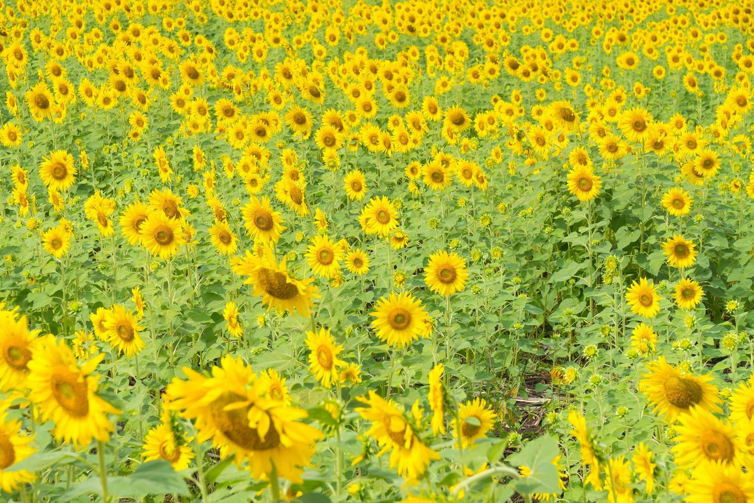 tournesol déposé en Thaïlande photo