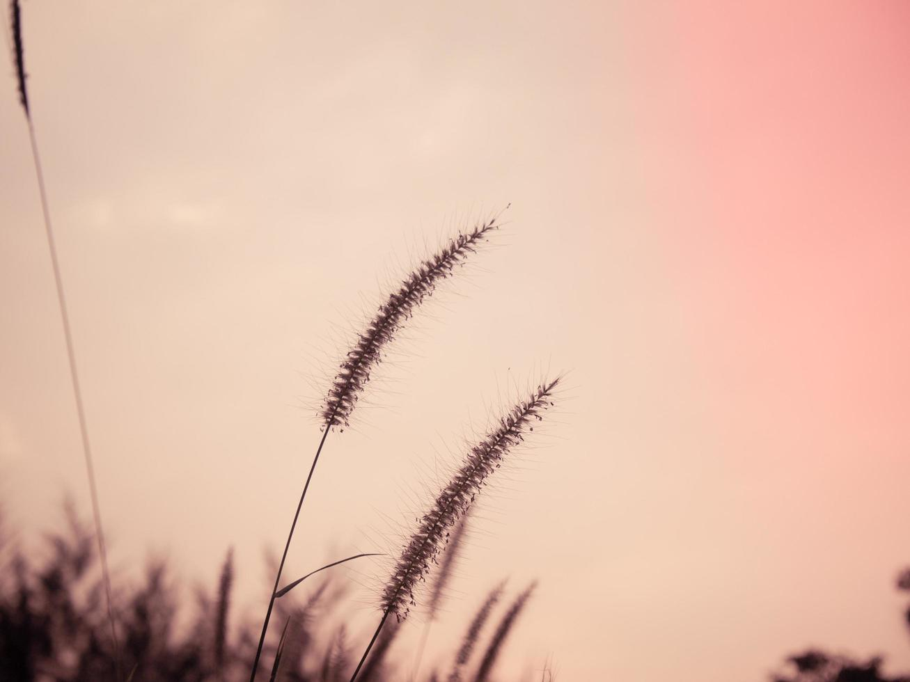 silhouette d'herbes sauvages photo