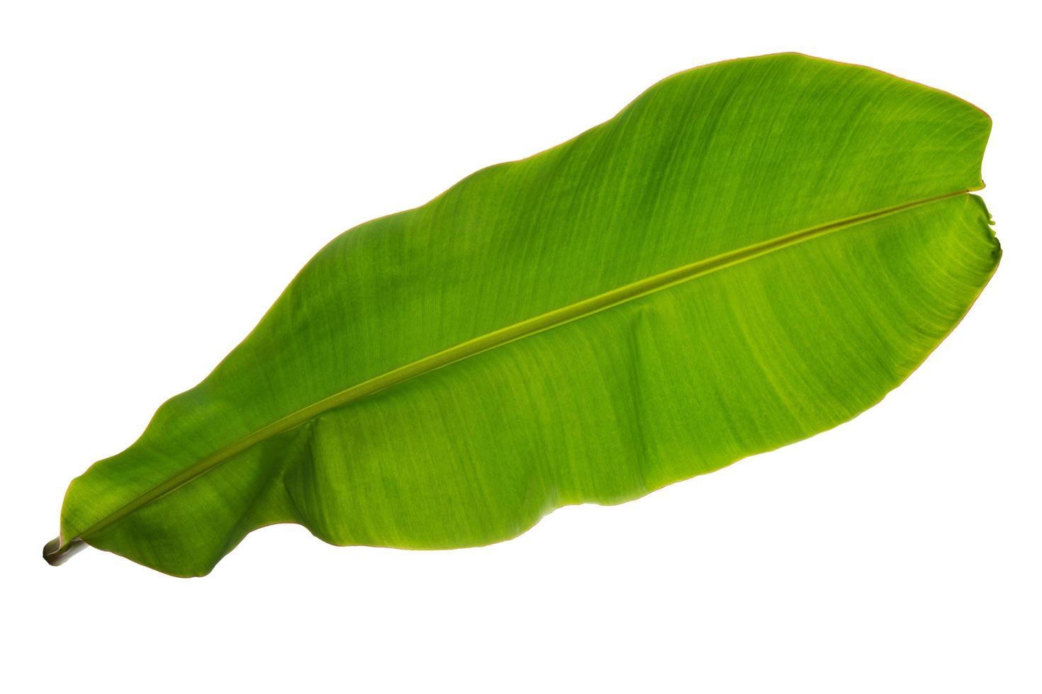 feuille verte tropicale sur blanc photo