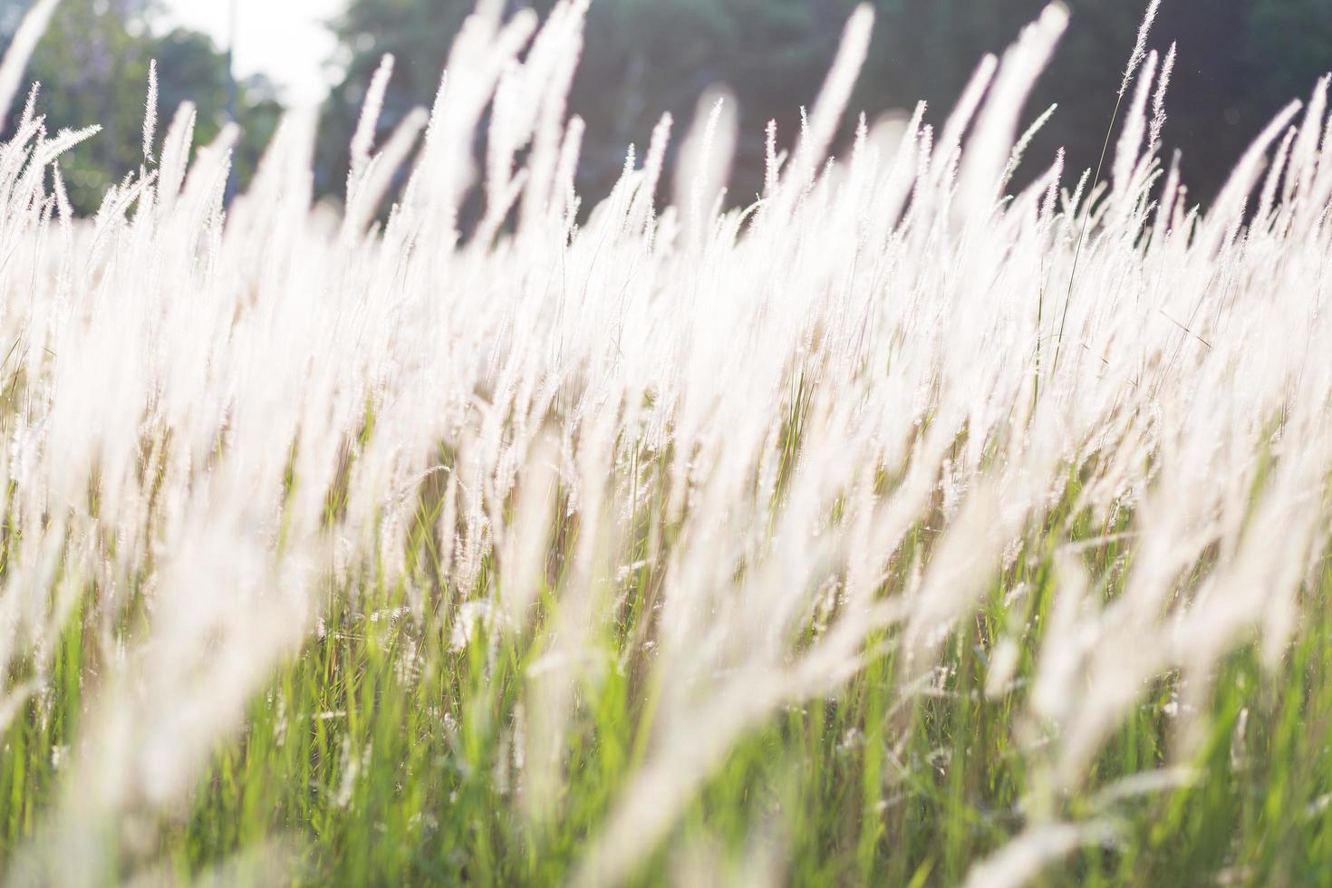 herbe fleurs de l'herbe photo
