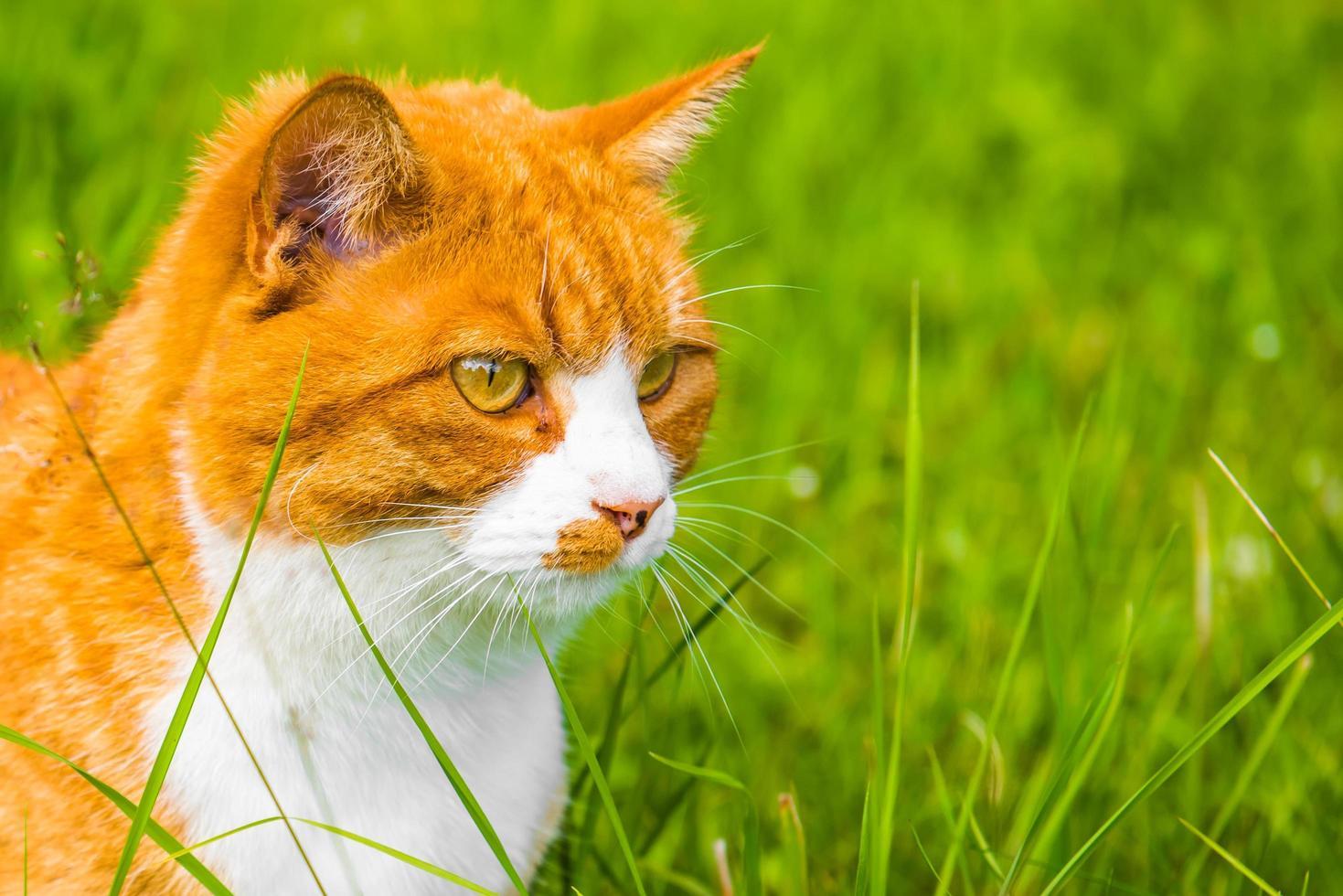 Vue latérale portrait de chat orange assis dans l'herbe verte photo