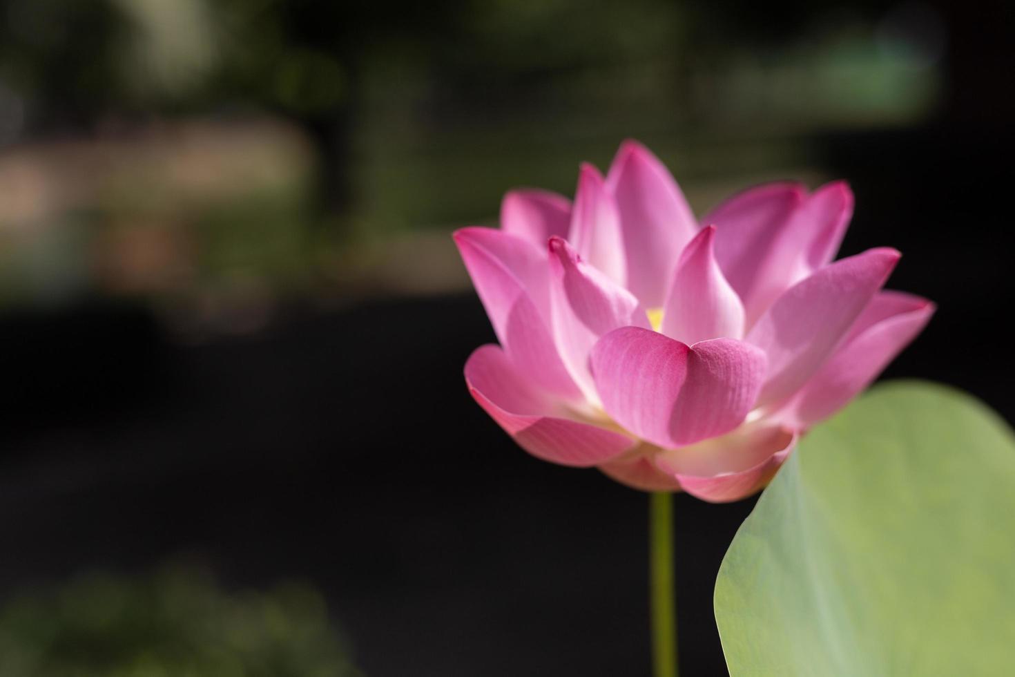 fleur rose sur fond sombre photo