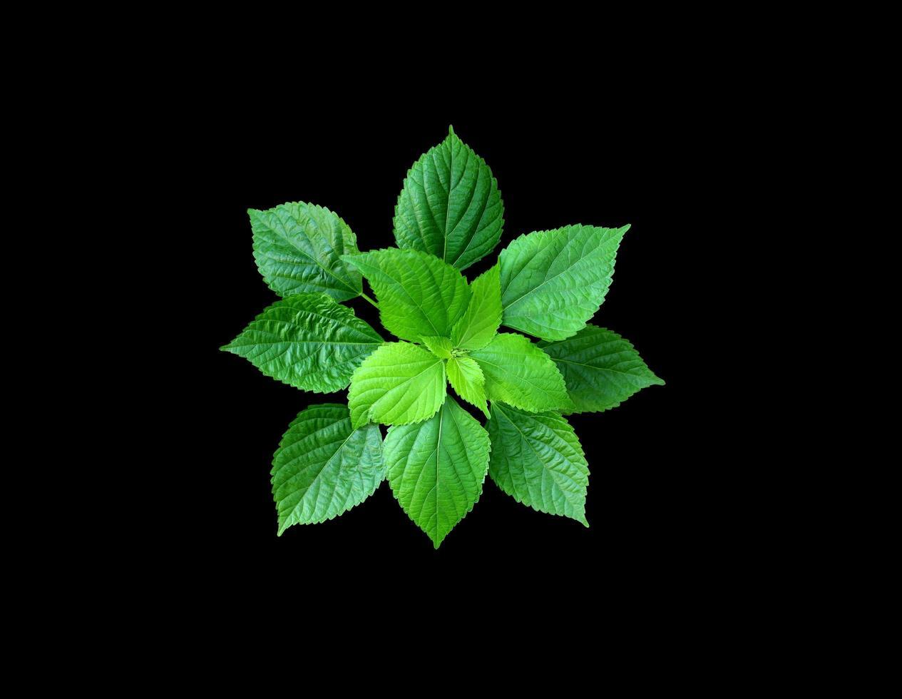 feuilles vertes sur fond noir photo