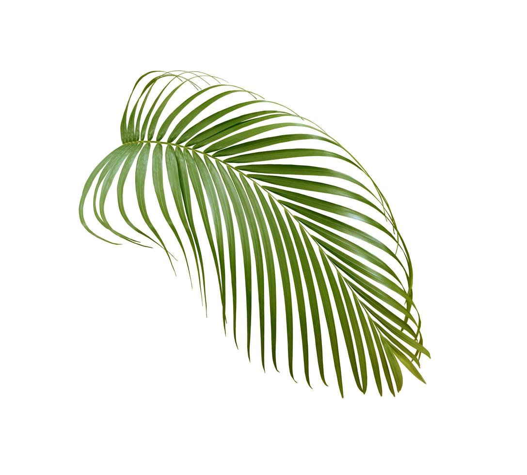 feuille de palmier isolé sur blanc photo