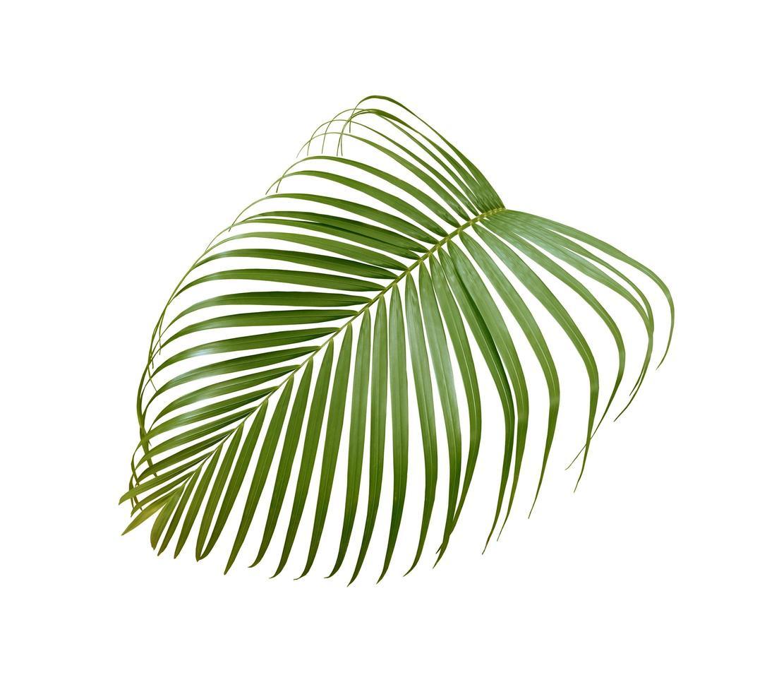 feuille de palmier luxuriante isolée photo