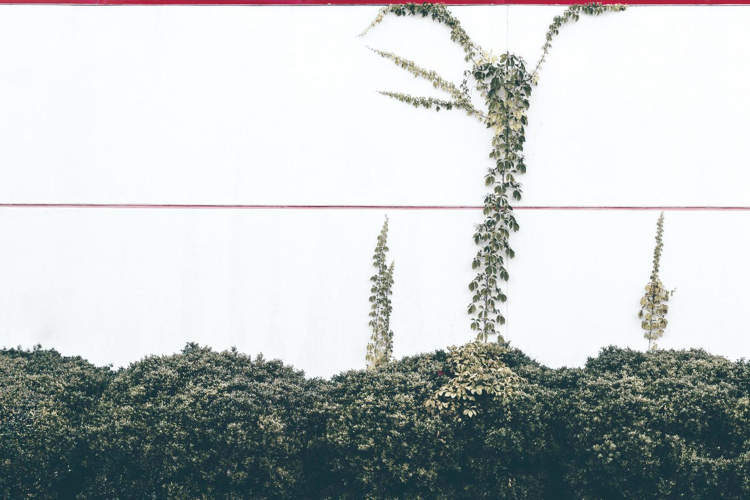 vignes vertes rampant sur un mur photo