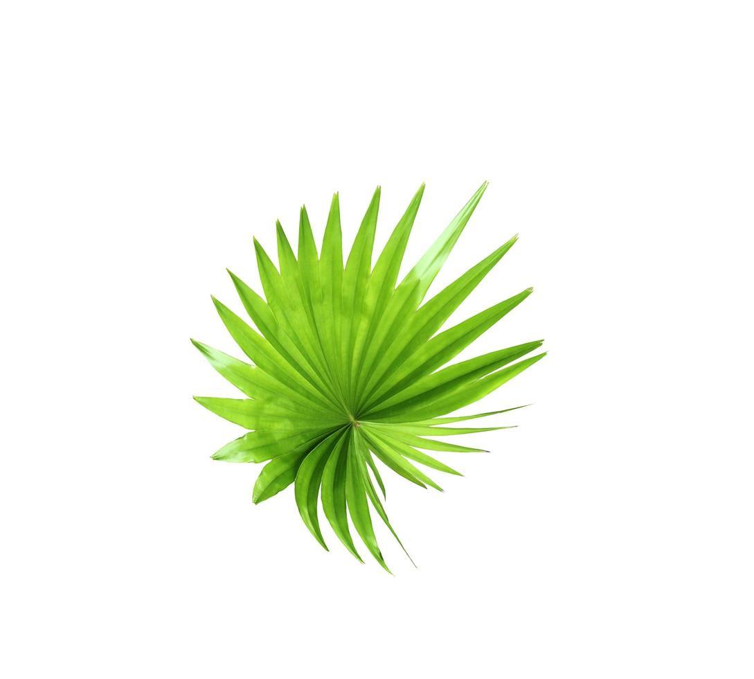 feuille de fan tropical vert photo