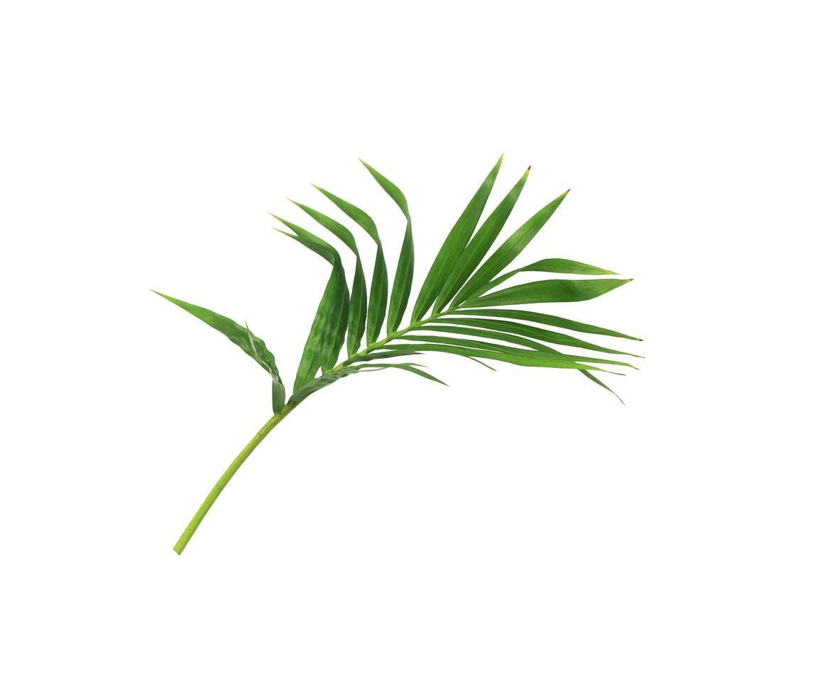 branche de feuilles vert foncé sur blanc photo