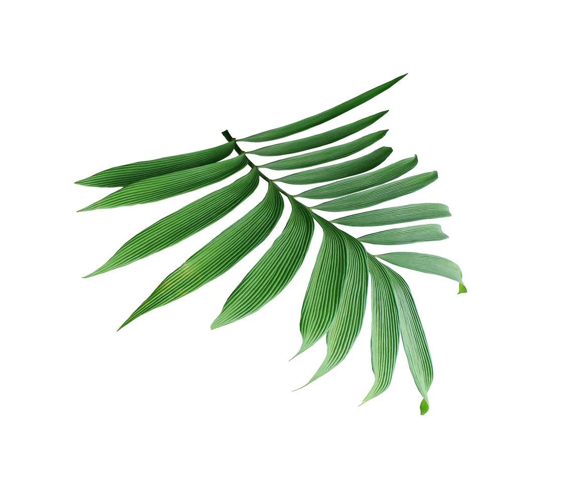feuilles de palmier vert luxuriant sur une branche photo