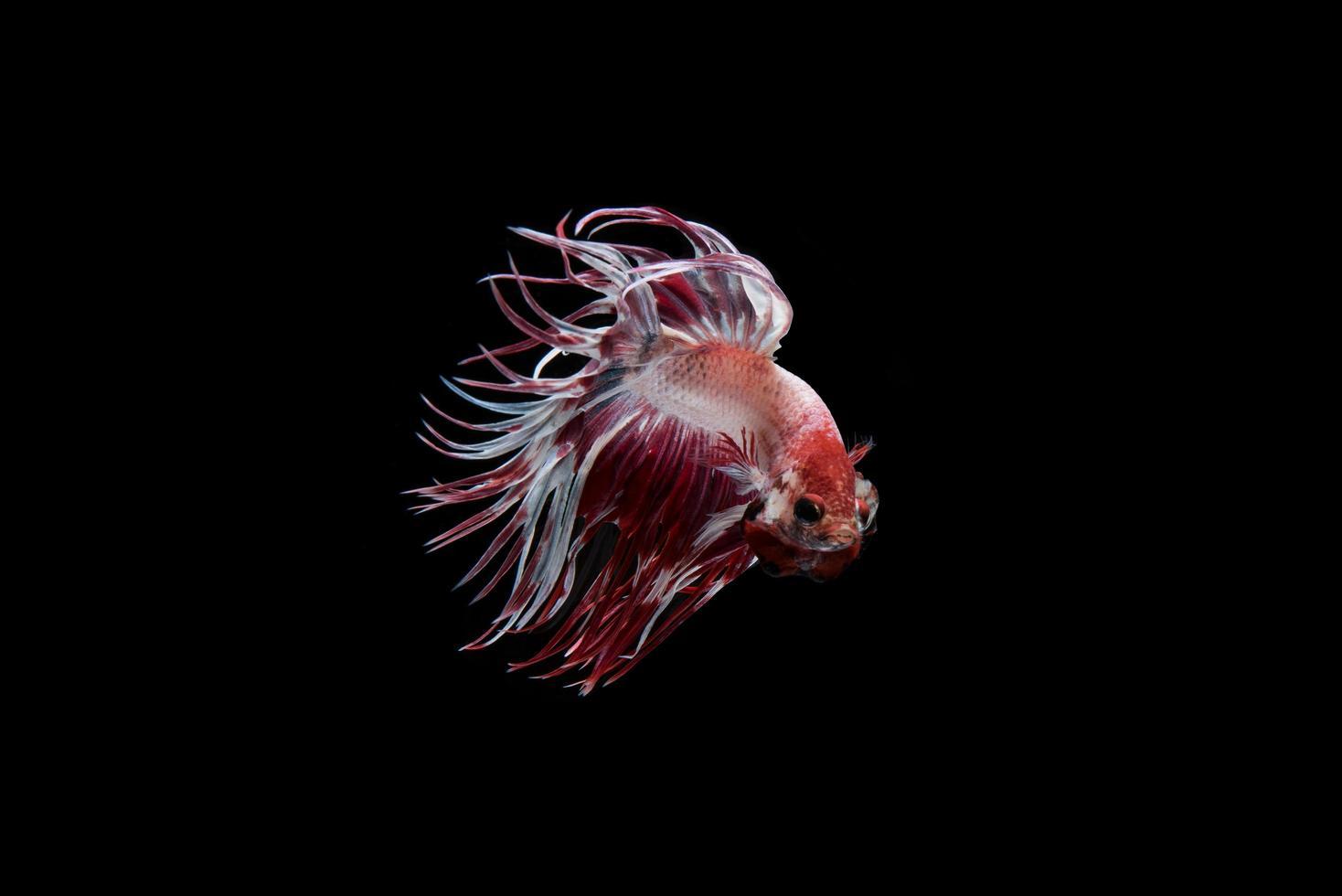 Beau poisson betta siamois coloré photo
