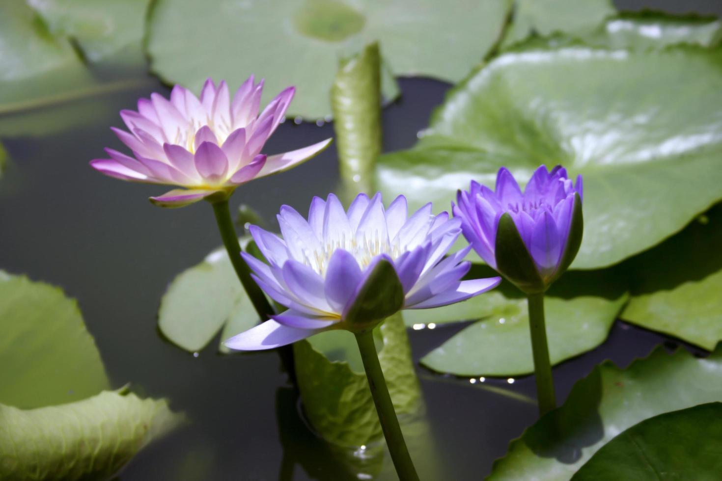 trois fleurs de lotus dans un étang photo