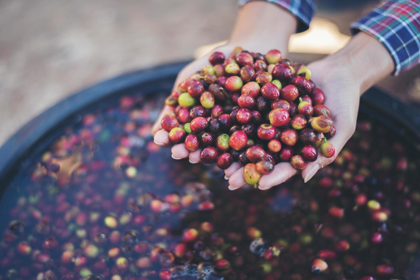 Close-up de grains de café de fruits rouges crus sur la main de l'agriculteur photo