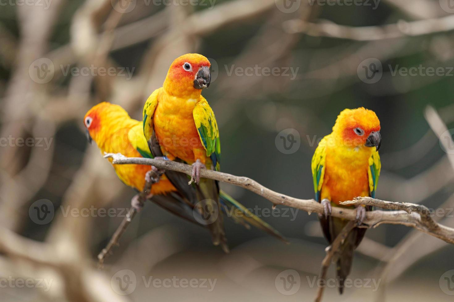 trois perroquets conure soleil photo