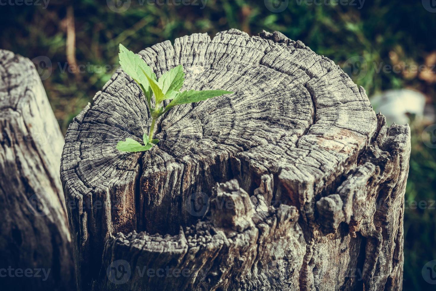 petit arbre poussant sur une souche photo