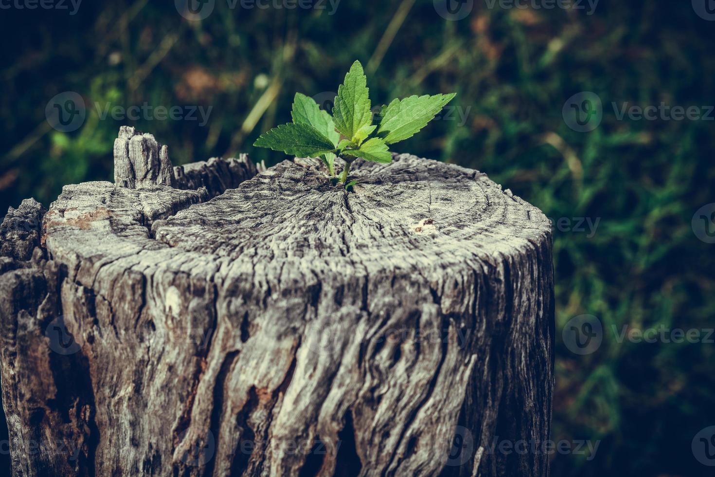 souche d'arbre poussant photo