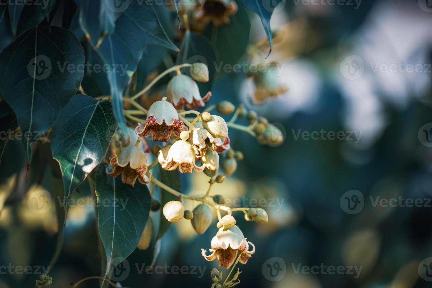 petites fleurs et bourgeons d'arbre bouteille photo
