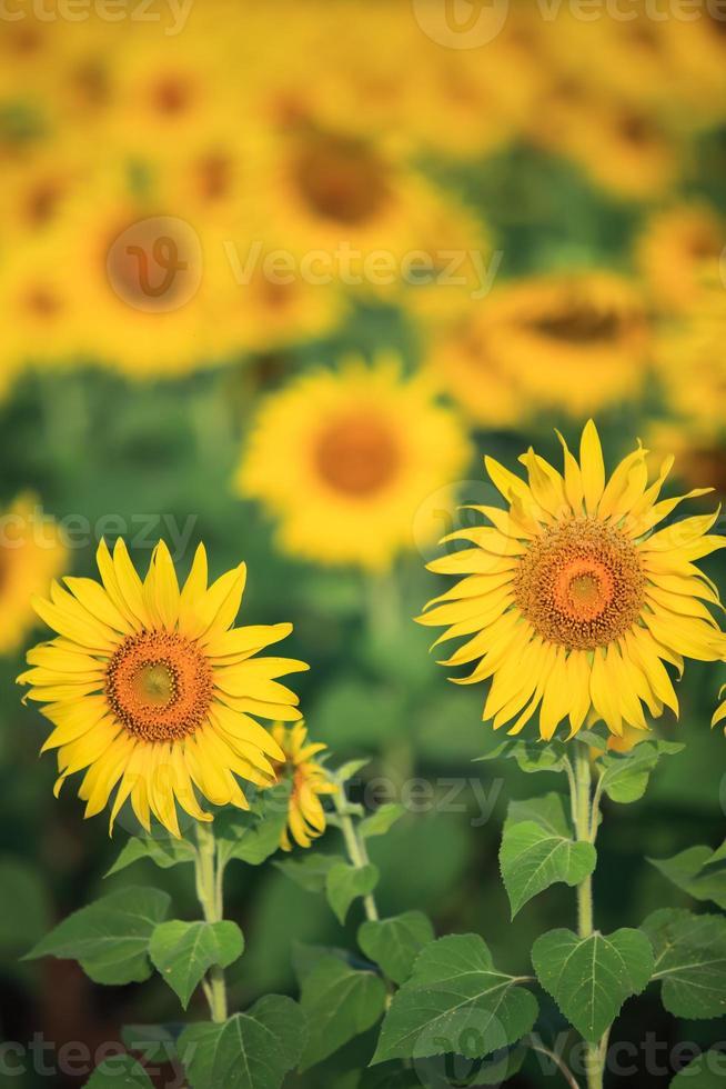 tournesols jaune vif photo