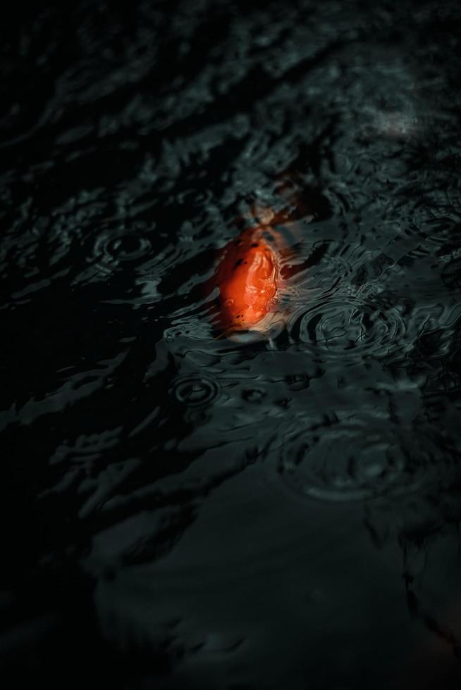poisson koi dans un étang sombre photo