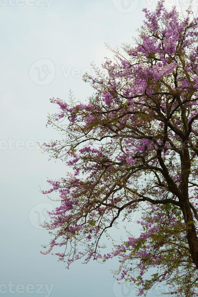Cerisier himalayen sauvage sur la montagne à Chiang Mai, Thaïlande photo