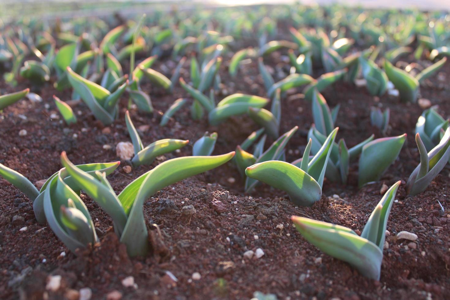 Macro close up de pousses de plantes vertes et de semis dans le sol photo