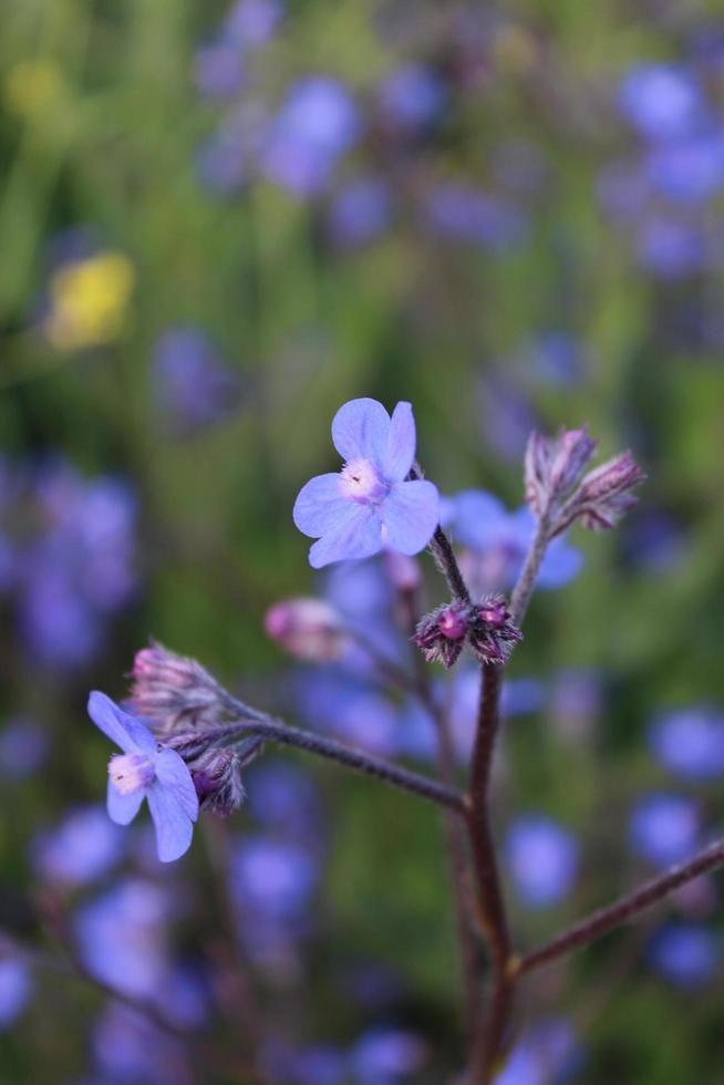 Macro close up d'un alcanet bleu italien en fleur au printemps photo