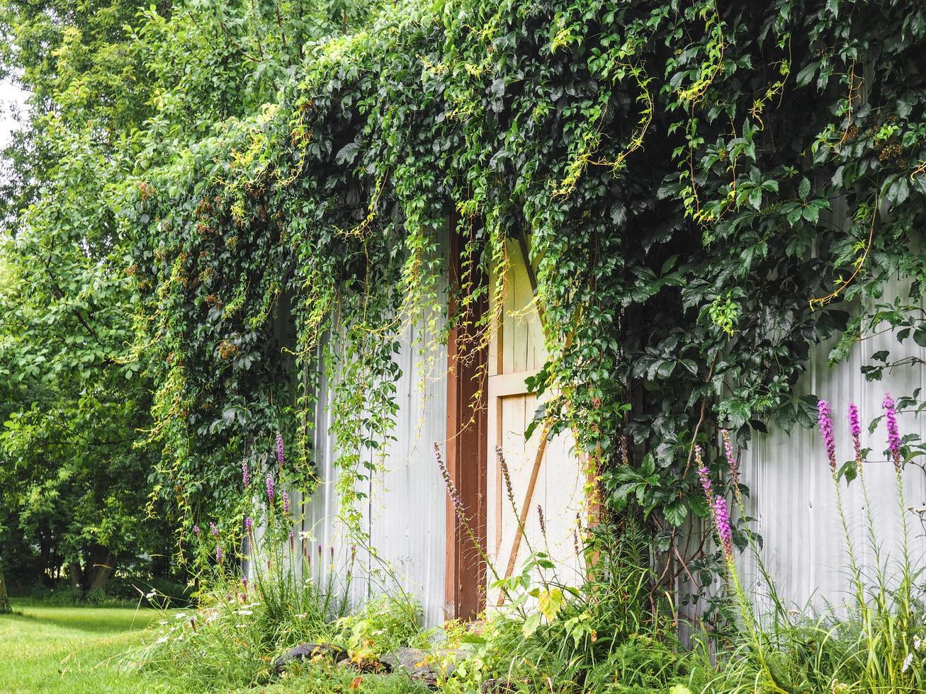 grange couverte de végétation photo