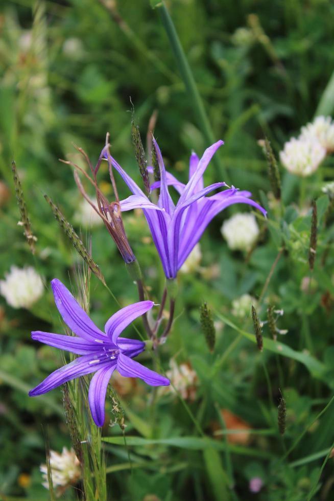 Macro close up de fleurs de lys de Sibérie pourpre au printemps photo