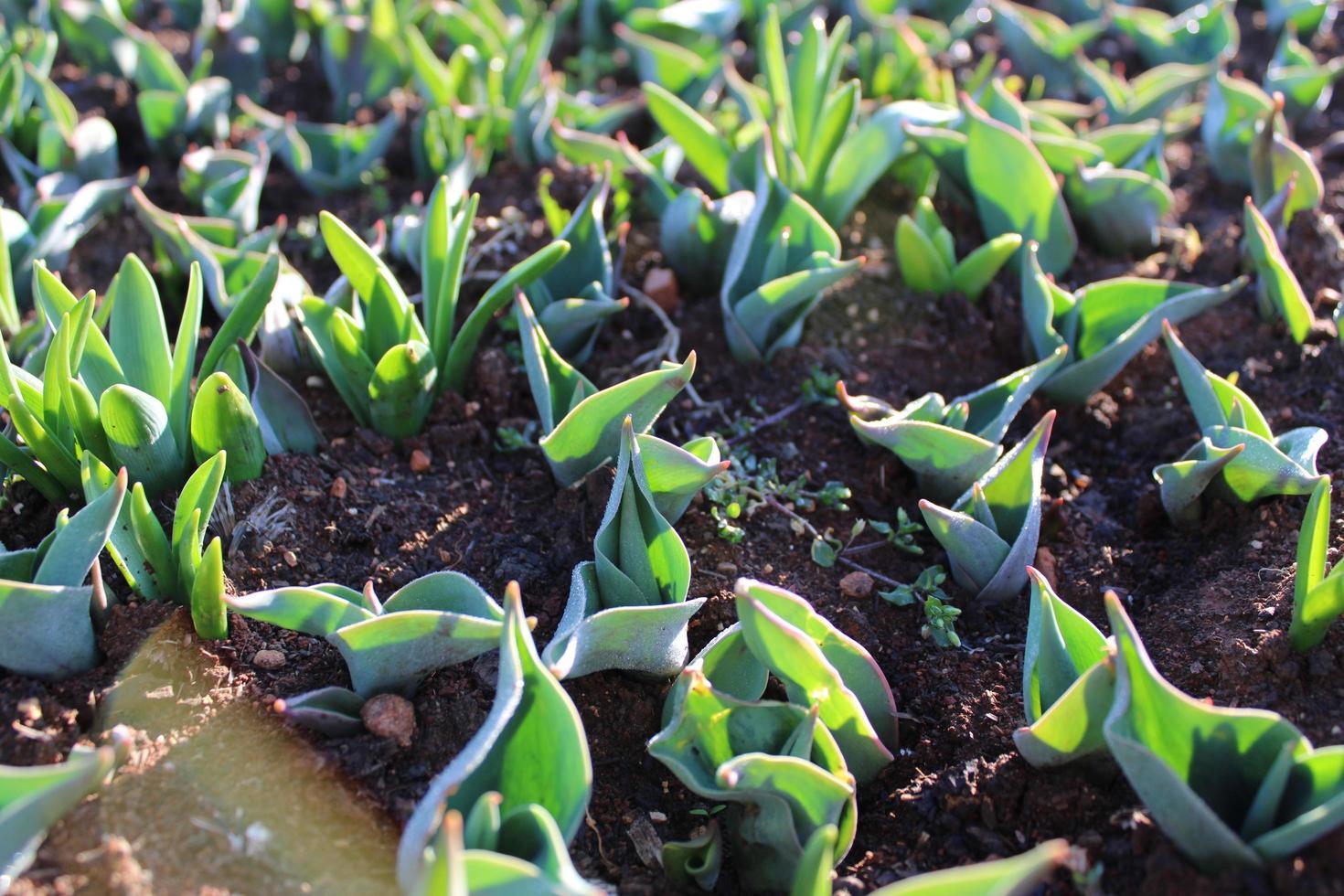 pousses de plantes et jeunes plantes avec des détails macro photo