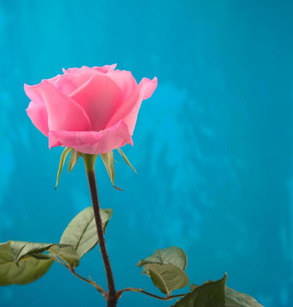 Rose rose en fleurs unique avec des gouttes d'eau et fond de texture grunge bleu photo